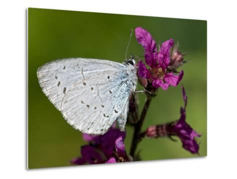Holly Blue Butterfly Wings Closed, Feeding on Purple Loosestrife, West Sussex, England, UK-Andy Sands-Metal Print