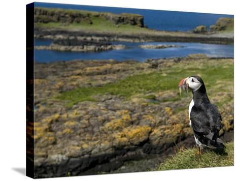 Puffin with Beak Full of Sand Eels, Isle of Lunga, Treshnish Isles, Inner Hebrides, Scotland, UK-Andy Sands-Stretched Canvas Print