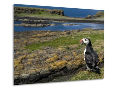 Puffin with Beak Full of Sand Eels, Isle of Lunga, Treshnish Isles, Inner Hebrides, Scotland, UK-Andy Sands-Metal Print