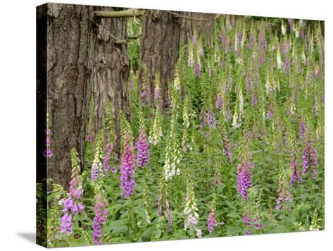 Foxgloves Flowering in Coastal Woodland, Norfolk, UK-Gary Smith-Stretched Canvas Print