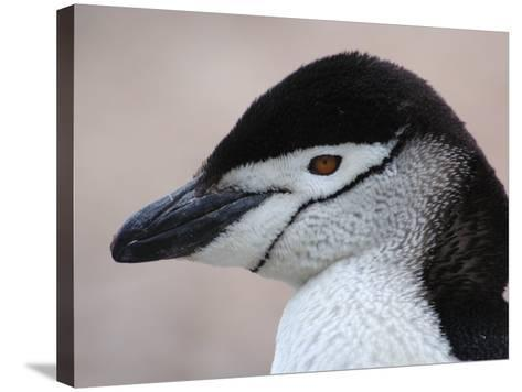 Chinstrap Penguin Head Portrait, Antarctica-Edwin Giesbers-Stretched Canvas Print