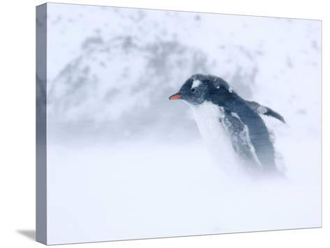 Gentoo Penguin Walking Through Snow Storm, Antarctica-Edwin Giesbers-Stretched Canvas Print