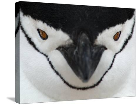 Chinstrap Penguin Face Portrait, Antarctica-Edwin Giesbers-Stretched Canvas Print