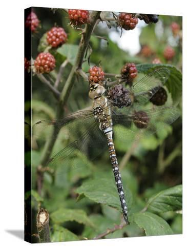 Migrant Hawker Dragonfly Mature Male Resting on Blackberries in Autumn Hedgerow, Norfolk, UK-Gary Smith-Stretched Canvas Print