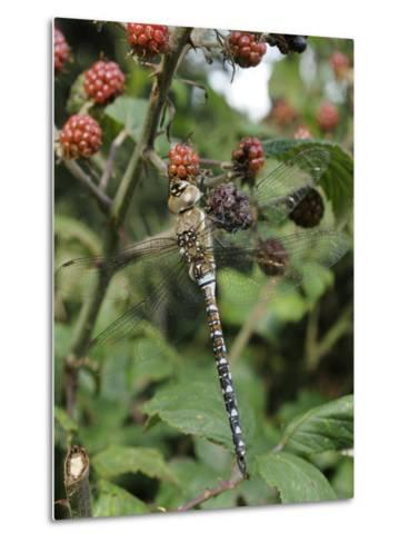 Migrant Hawker Dragonfly Mature Male Resting on Blackberries in Autumn Hedgerow, Norfolk, UK-Gary Smith-Metal Print