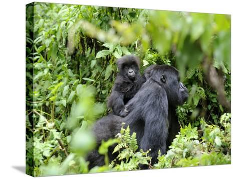 Female Mountain Gorilla Carrying Baby on Her Back, Volcanoes National Park, Rwanda, Africa-Eric Baccega-Stretched Canvas Print