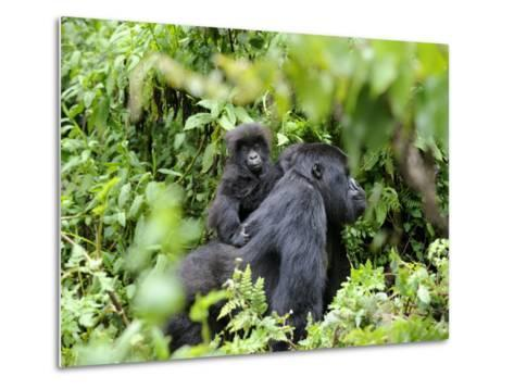 Female Mountain Gorilla Carrying Baby on Her Back, Volcanoes National Park, Rwanda, Africa-Eric Baccega-Metal Print