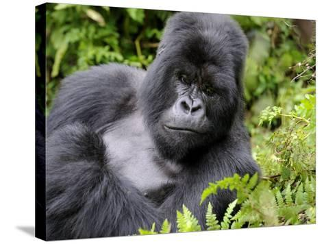 Male Silverback Mountain Gorilla Resting, Volcanoes National Park, Rwanda, Africa-Eric Baccega-Stretched Canvas Print