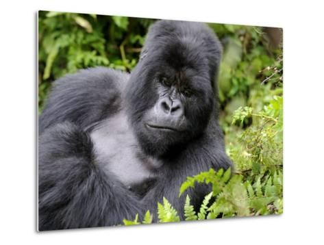 Male Silverback Mountain Gorilla Resting, Volcanoes National Park, Rwanda, Africa-Eric Baccega-Metal Print