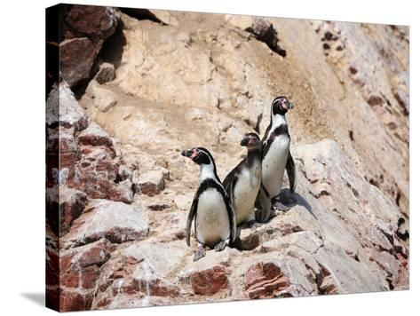 Humboldt Penguins on Isla Ballestas, Ballestas Islands, Peru-Eric Baccega-Stretched Canvas Print