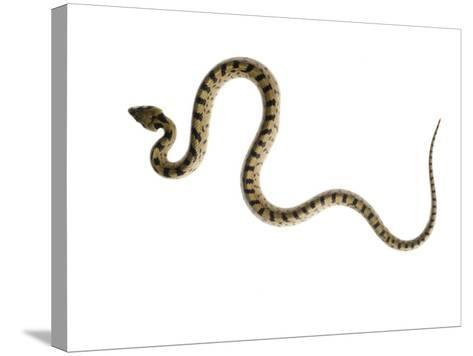 Juvenile Ladder Snake Alicante, Spain-Niall Benvie-Stretched Canvas Print