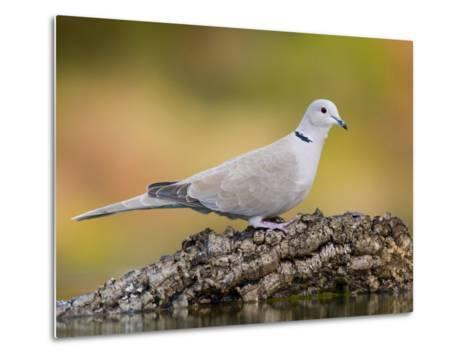 Collared Dove at Water's Edge, Alicante, Spain-Niall Benvie-Metal Print