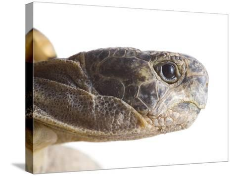 Greek Spur Thighed Tortoise Head Portrait, Spain-Niall Benvie-Stretched Canvas Print
