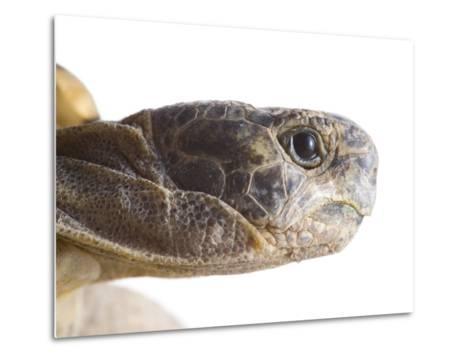 Greek Spur Thighed Tortoise Head Portrait, Spain-Niall Benvie-Metal Print