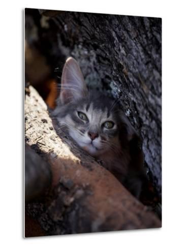 Somali Cat in Tree-Adriano Bacchella-Metal Print