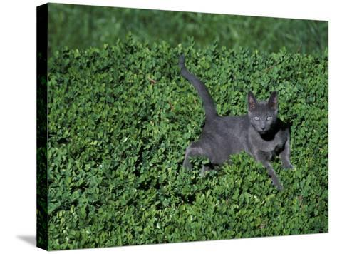 Russian Blue Cat Lying on Plants in a Garden, Italy-Adriano Bacchella-Stretched Canvas Print