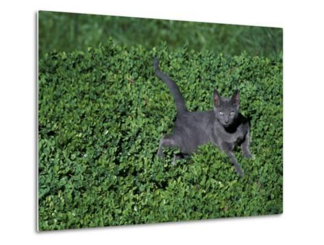 Russian Blue Cat Lying on Plants in a Garden, Italy-Adriano Bacchella-Metal Print
