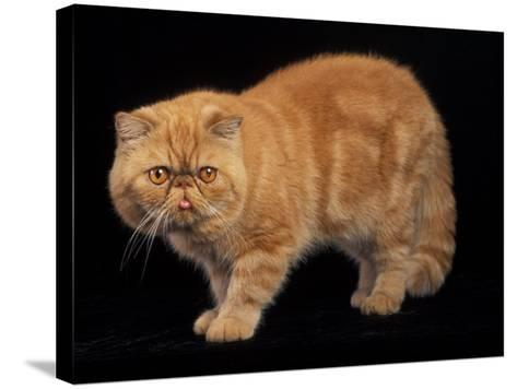 Exotic Red Cat, Portrait-Adriano Bacchella-Stretched Canvas Print