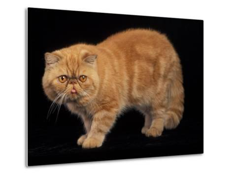 Exotic Red Cat, Portrait-Adriano Bacchella-Metal Print
