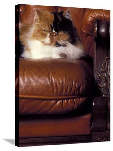 Black, White and Cream Mackerel Tabby Persian Cat Resting in Armchair-Adriano Bacchella-Stretched Canvas Print