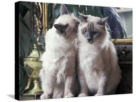 Two Birman Cats Sitting on Furniture, Interacting-Adriano Bacchella-Stretched Canvas Print