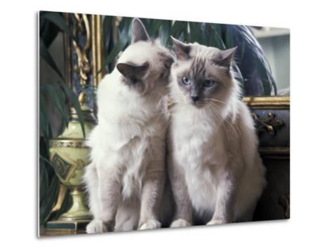 Two Birman Cats Sitting on Furniture, Interacting-Adriano Bacchella-Metal Print