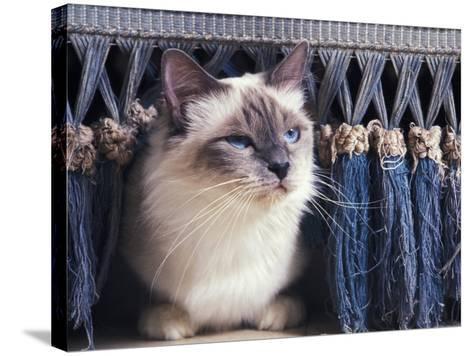 Birman Cat Amongst Tassles under Furniture-Adriano Bacchella-Stretched Canvas Print