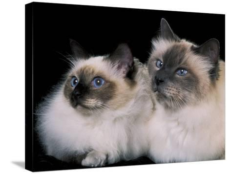 Two Birman Cats Showing Deep Blue Eyes-Adriano Bacchella-Stretched Canvas Print