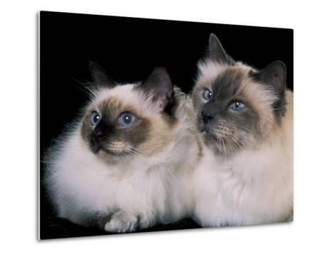 Two Birman Cats Showing Deep Blue Eyes-Adriano Bacchella-Metal Print