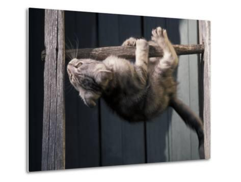 Scottish Fold Cat Hanging Upside-Down from Ladder Rung, Italy-Adriano Bacchella-Metal Print