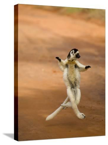 Verreaux's Sifaka 'Dancing', Berenty Private Reserve, South Madagascar-Inaki Relanzon-Stretched Canvas Print