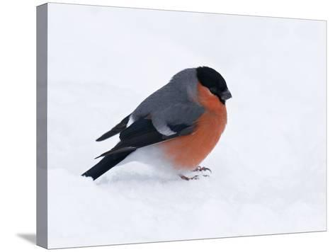 Bullfinch Male in Snow, Scotland, UK-Andy Sands-Stretched Canvas Print