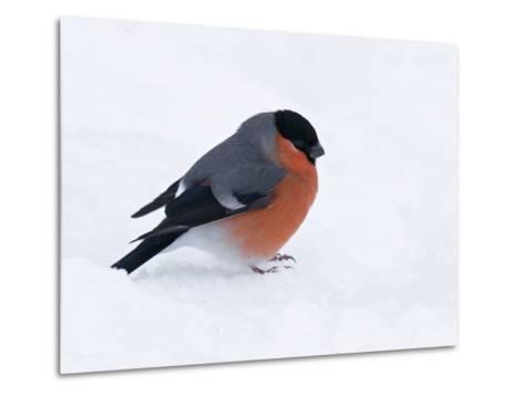Bullfinch Male in Snow, Scotland, UK-Andy Sands-Metal Print