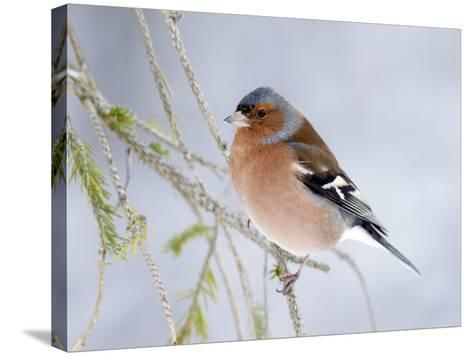 Chaffinch Perched in Pine Tree, Scotland, UK-Andy Sands-Stretched Canvas Print