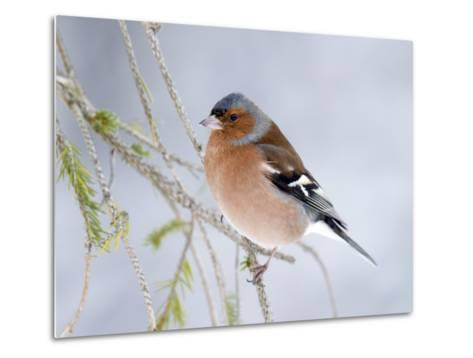 Chaffinch Perched in Pine Tree, Scotland, UK-Andy Sands-Metal Print