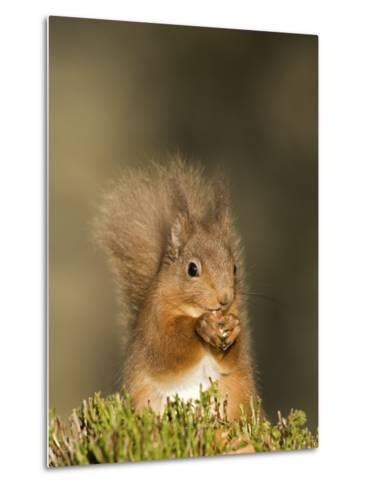 Red Squirrel Feeding, Cairngorms, Scotland, UK-Andy Sands-Metal Print