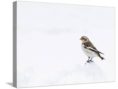 Snow Bunting in Snow, Cairngorms, Scotland, UK-Andy Sands-Stretched Canvas Print