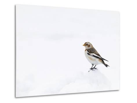 Snow Bunting in Snow, Cairngorms, Scotland, UK-Andy Sands-Metal Print