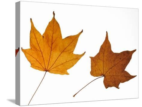 Painted Maple Leaves in Autumn Colours, Native to Korea, Japan, Manchuria, Usa and Canada-Philippe Clement-Stretched Canvas Print