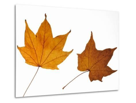 Painted Maple Leaves in Autumn Colours, Native to Korea, Japan, Manchuria, Usa and Canada-Philippe Clement-Metal Print