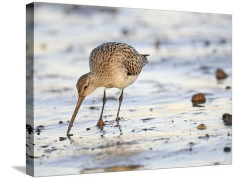 Black Tailed Godwit Feeding in Mud on Tidal Channel, Norfolk, UK, December-Gary Smith-Stretched Canvas Print