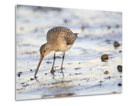 Black Tailed Godwit Feeding in Mud on Tidal Channel, Norfolk, UK, December-Gary Smith-Metal Print