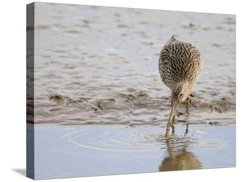 Curlew Washing Worm in Water, Norfolk UK-Gary Smith-Stretched Canvas Print