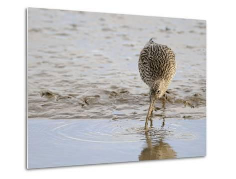 Curlew Washing Worm in Water, Norfolk UK-Gary Smith-Metal Print