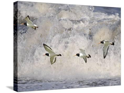 Oystercatchers in Flight over Breaking Surf, Norfolk, UK, December-Gary Smith-Stretched Canvas Print
