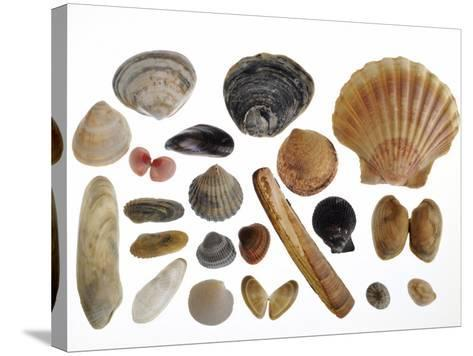 Collection of Shells from the North Sea-Philippe Clement-Stretched Canvas Print
