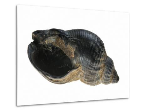 Common Whelk from the North Sea, Shell Showing Aperture, Belgium-Philippe Clement-Metal Print