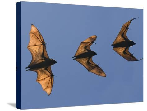 Madagascar Fruit Bat Flying Fox Berenty Reserve, Madagascar-Edwin Giesbers-Stretched Canvas Print