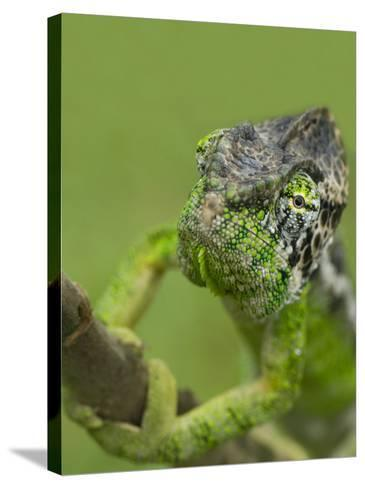 Oustalet's Chameleon on Branch, Madagascar-Edwin Giesbers-Stretched Canvas Print