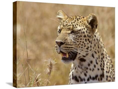 Leopard Portrait, Tanzania-Edwin Giesbers-Stretched Canvas Print